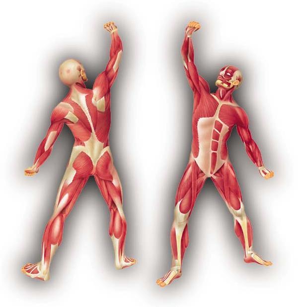La genética del deportista 1: Anatomía muscular. Instituto ...